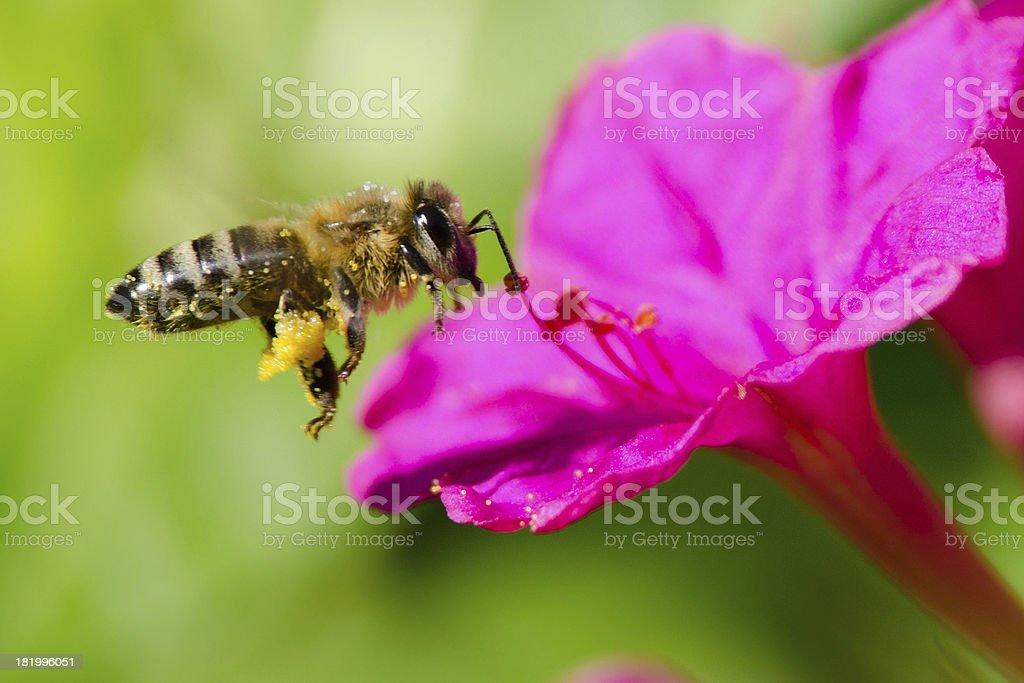 honeybee pollinated of flower royalty-free stock photo