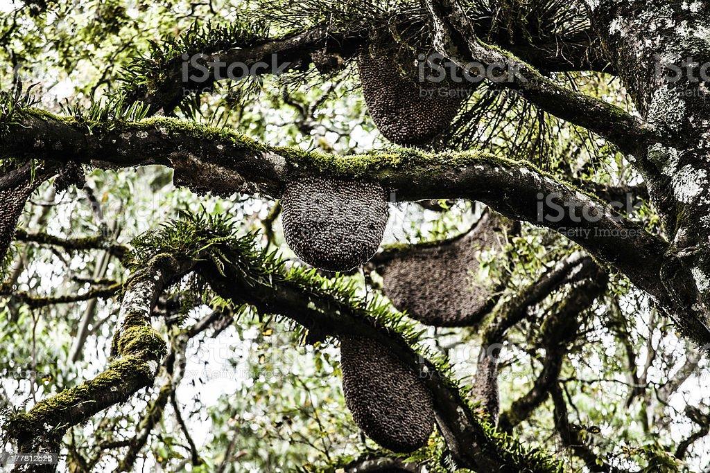 Honeybee swarm hanging royalty-free stock photo