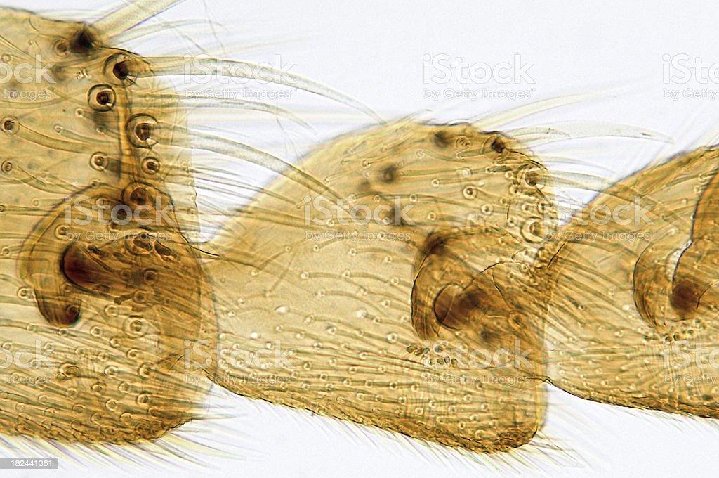 Honeybee Third Leg stock photo