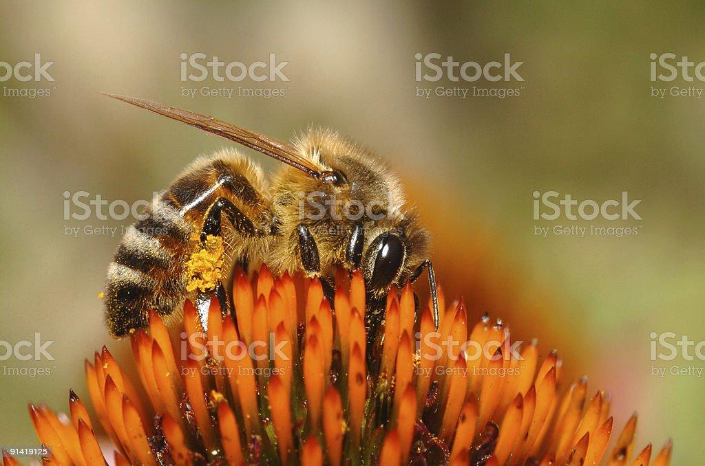 Honeybee with pollen basket royalty-free stock photo