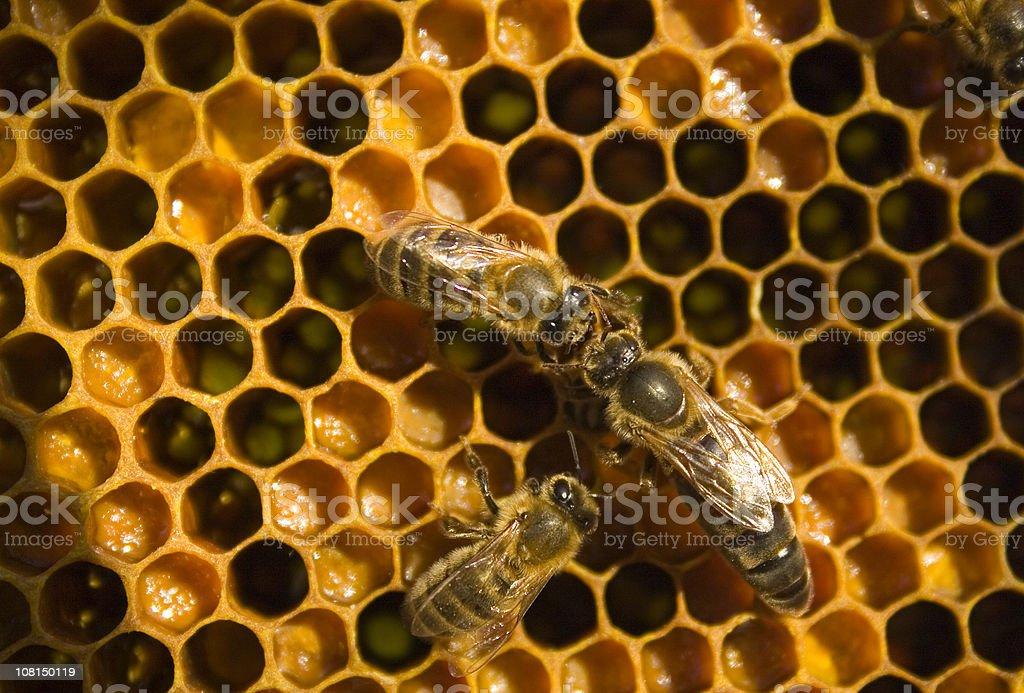 Honeybee with Queen Bee on Honeycomb stock photo