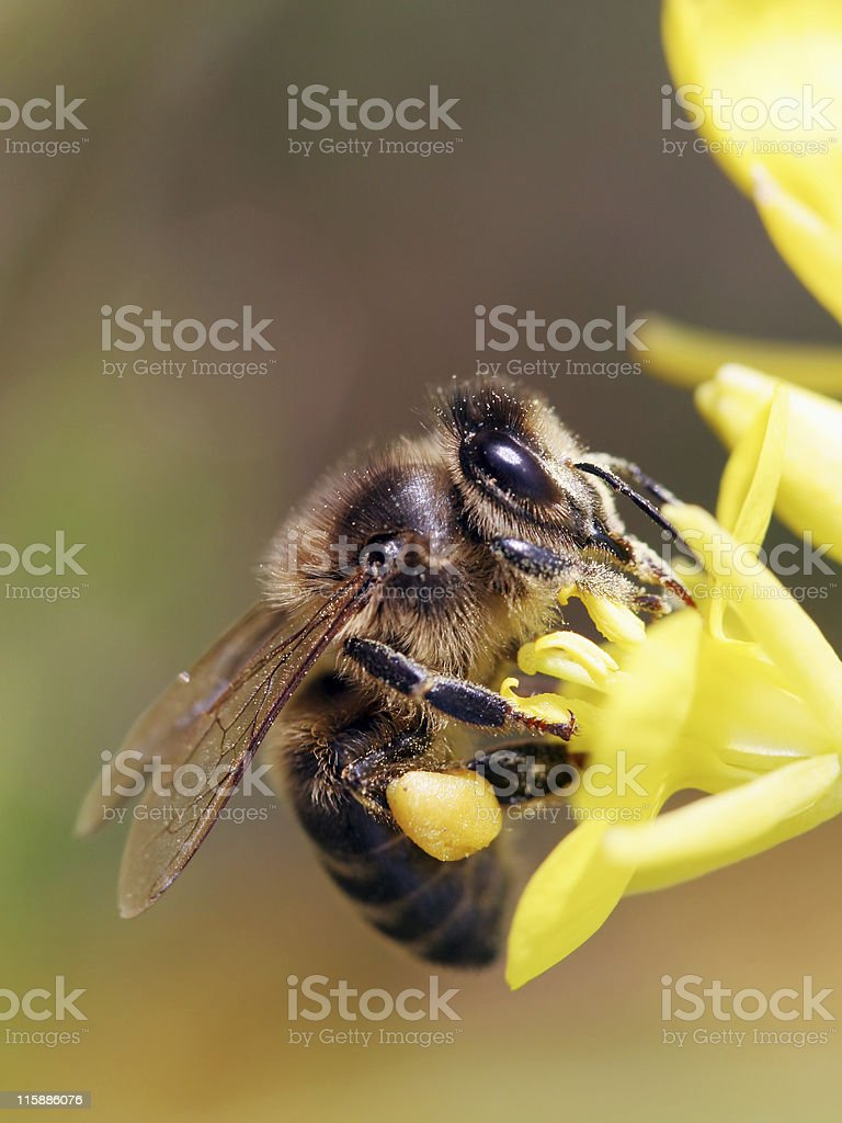 Honeybee1 stock photo