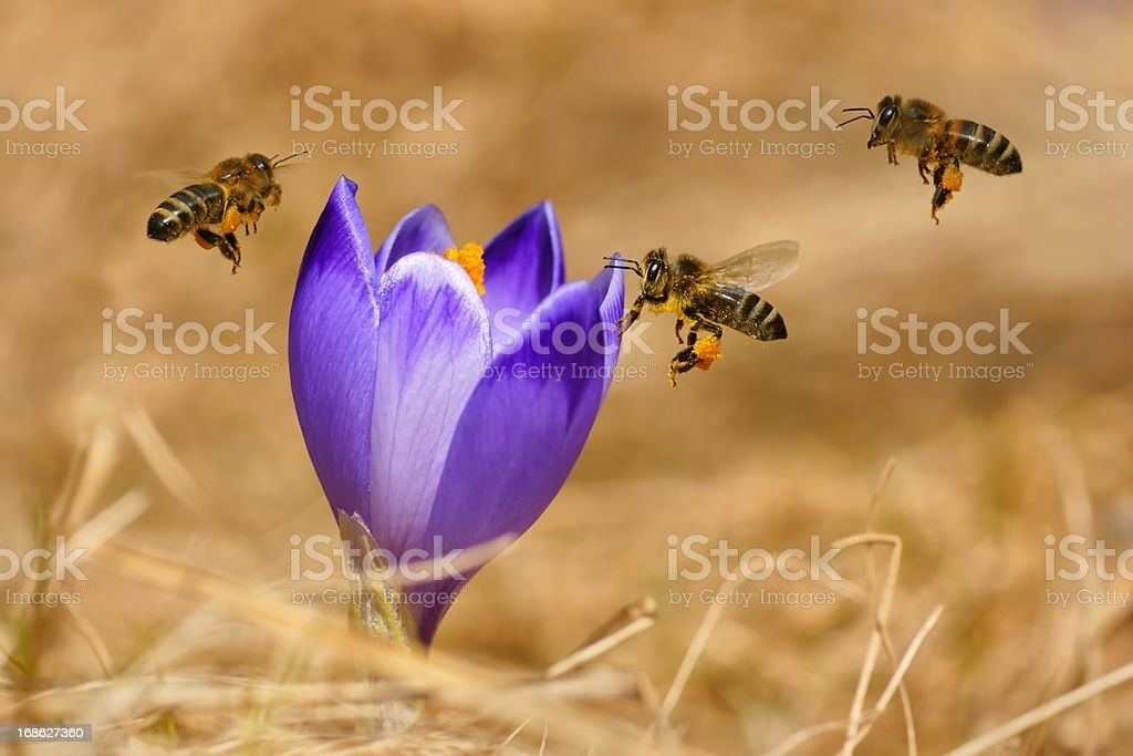 Honeybees (Apis mellifera), bees flying over the crocuses stock photo