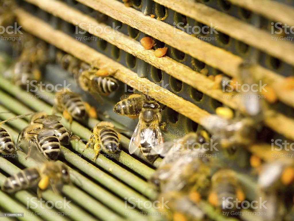 Honeybees royalty-free stock photo