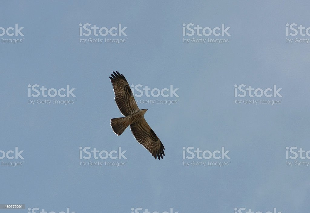 Honey-buzzard stock photo