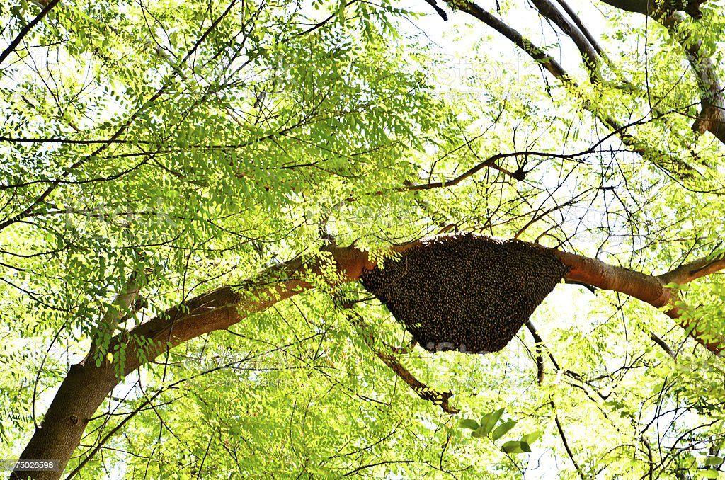 Honeycomb hanging on the tree royalty-free stock photo