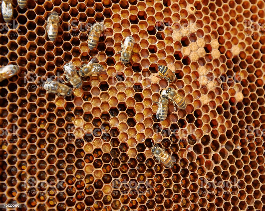 Honeycomb with eggs, larvae and capped brood stock photo