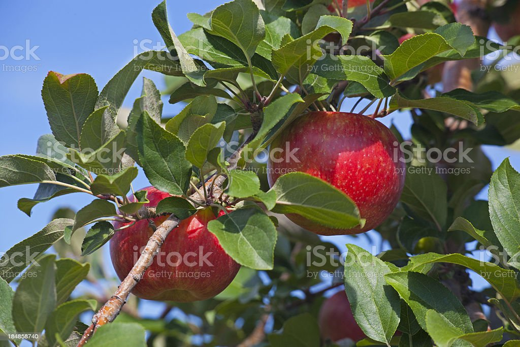 Honeycrisp Apple Branch royalty-free stock photo