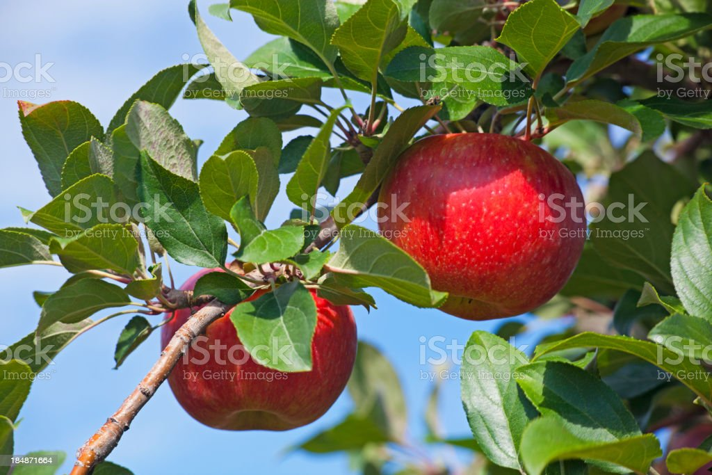 Honeycrisp Apples on Branch royalty-free stock photo