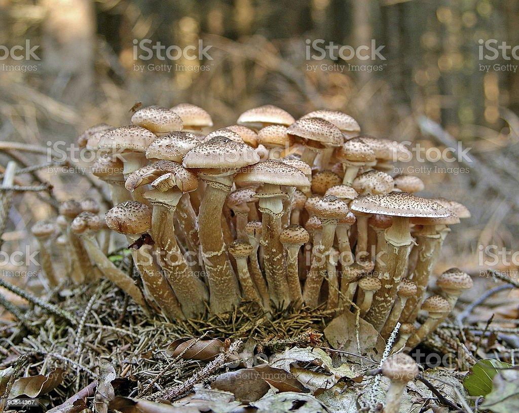 Honey-Fungus (Armillaria mellea) stock photo