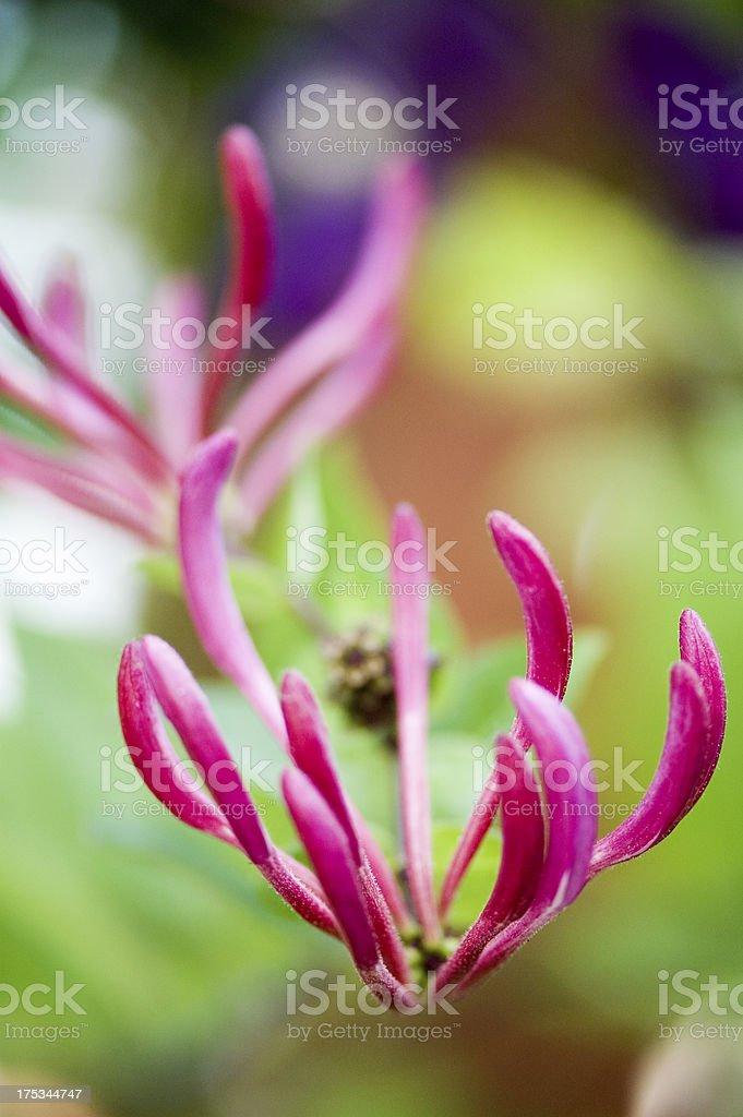 Honeysuckle Blooming Flower royalty-free stock photo