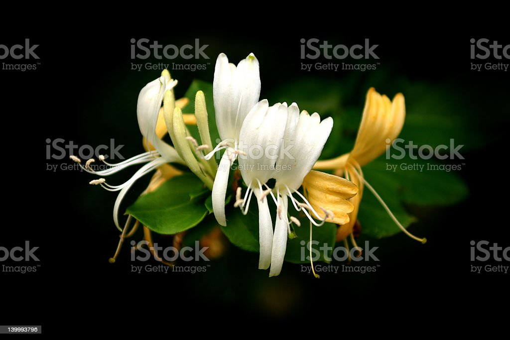 Honeysuckle Blossoms stock photo