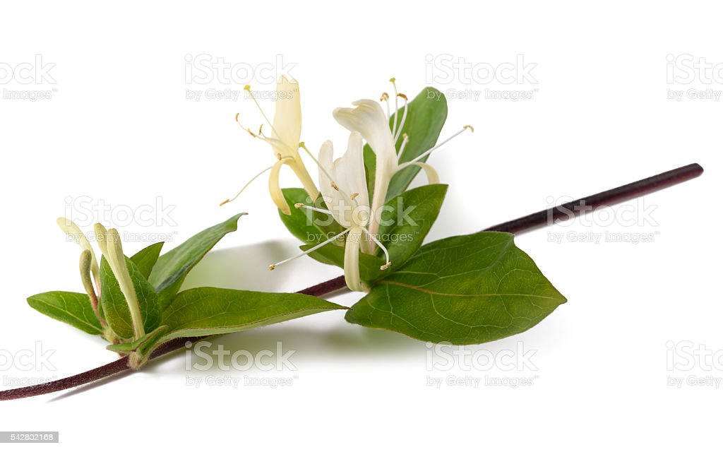 honeysuckle branch isolated stock photo