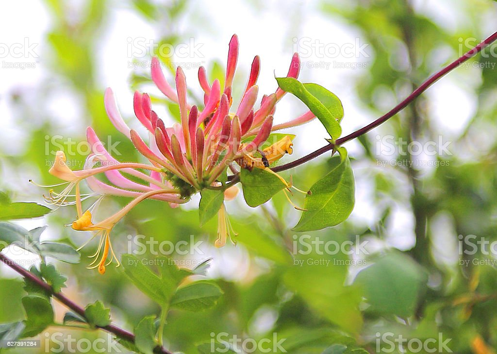 honeysuckle flower stock photo
