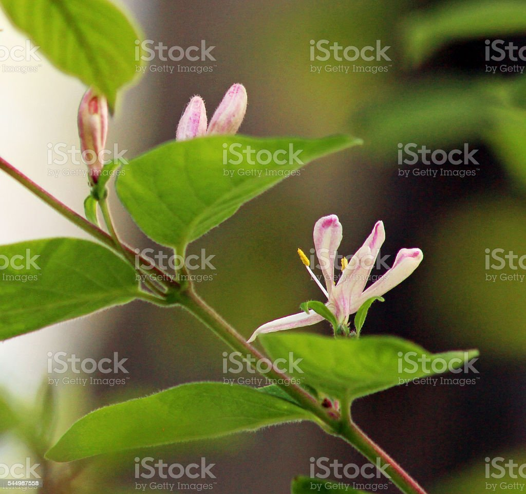 Honeysuckle flowers and buds stock photo
