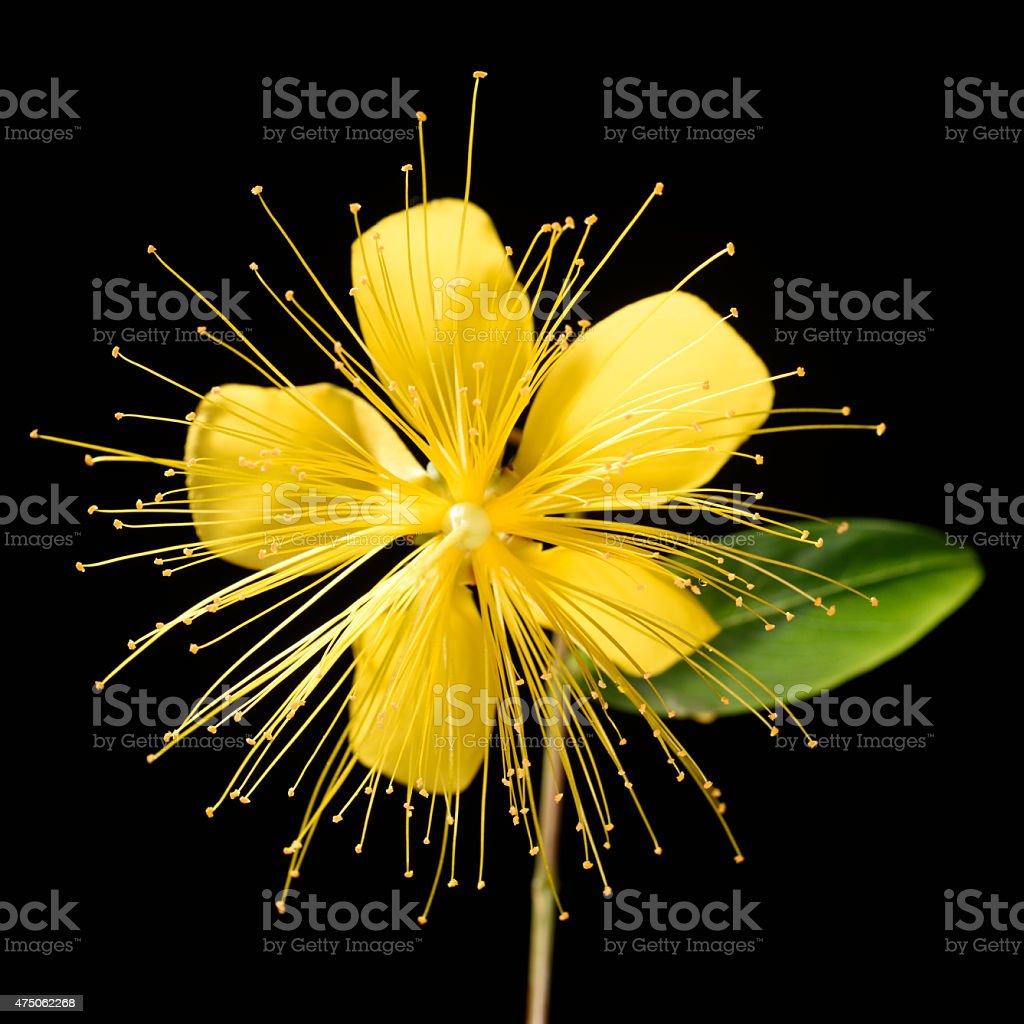 Honeysuckle flowers isolated on black stock photo