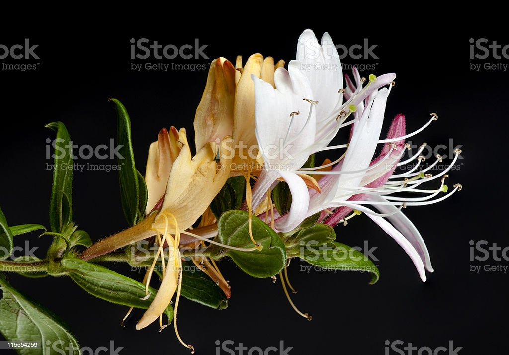 Honeysuckle flowers on black. stock photo