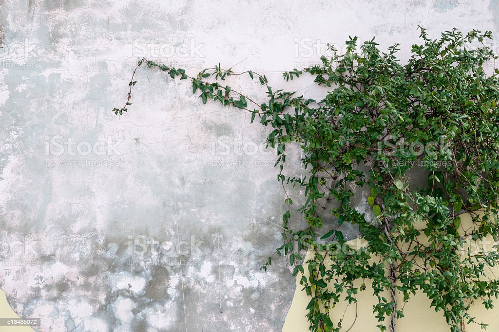 Honeysuckle green branches on the old wall. stock photo