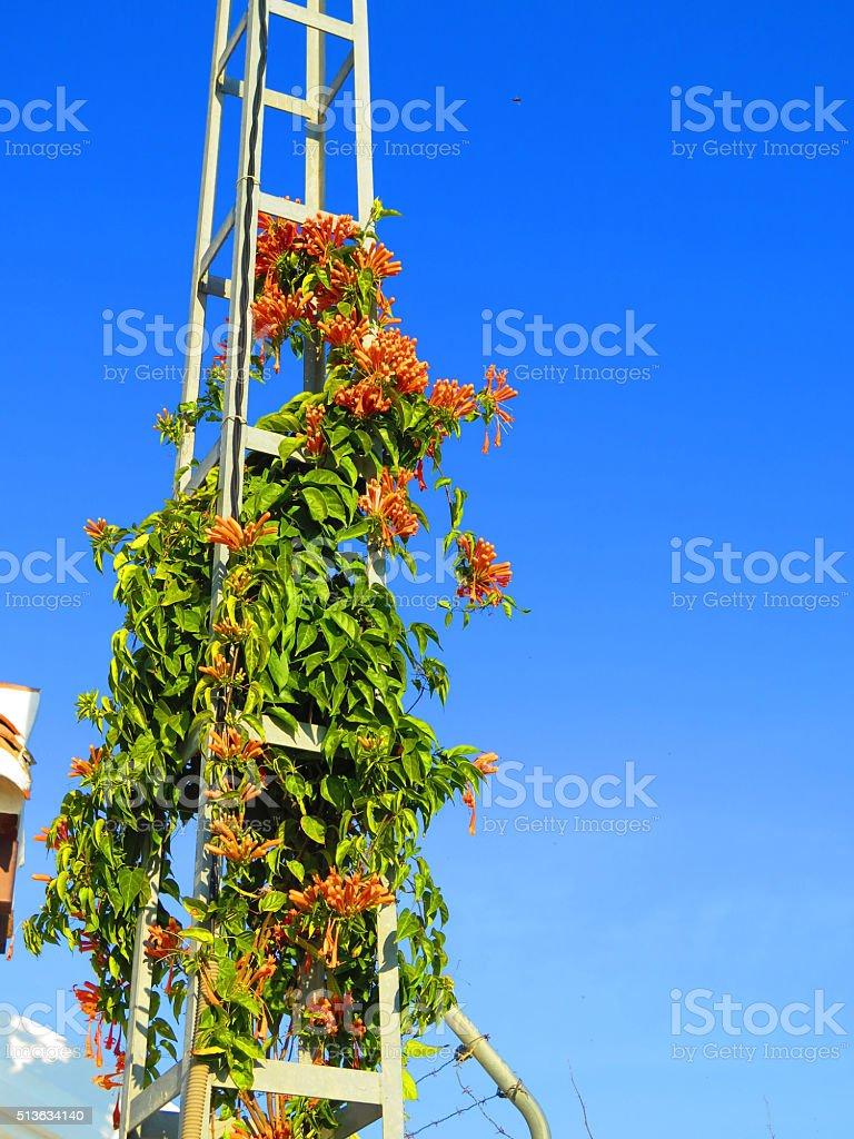Honeysuckle growing on pylon stock photo