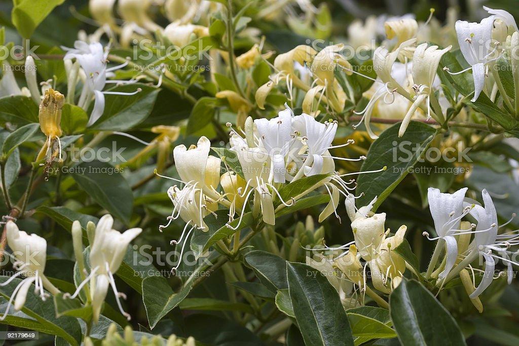 Honeysuckle in Spring Bloom stock photo