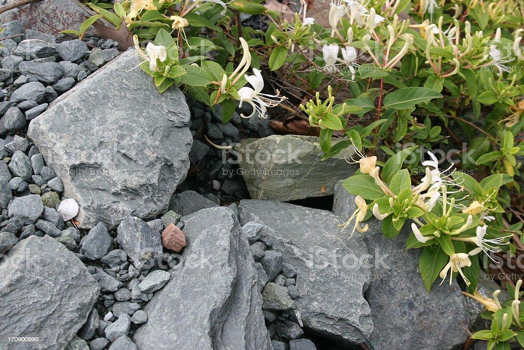 Honeysuckle on rocks royalty-free stock photo