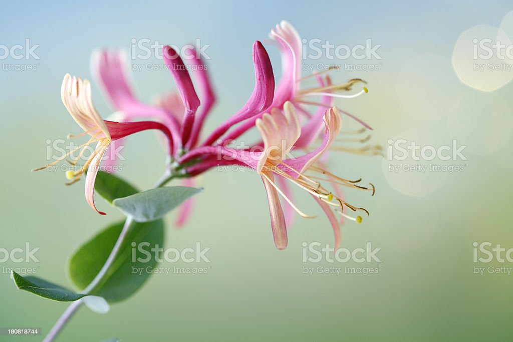 Honeysuckle or Woodbine stock photo