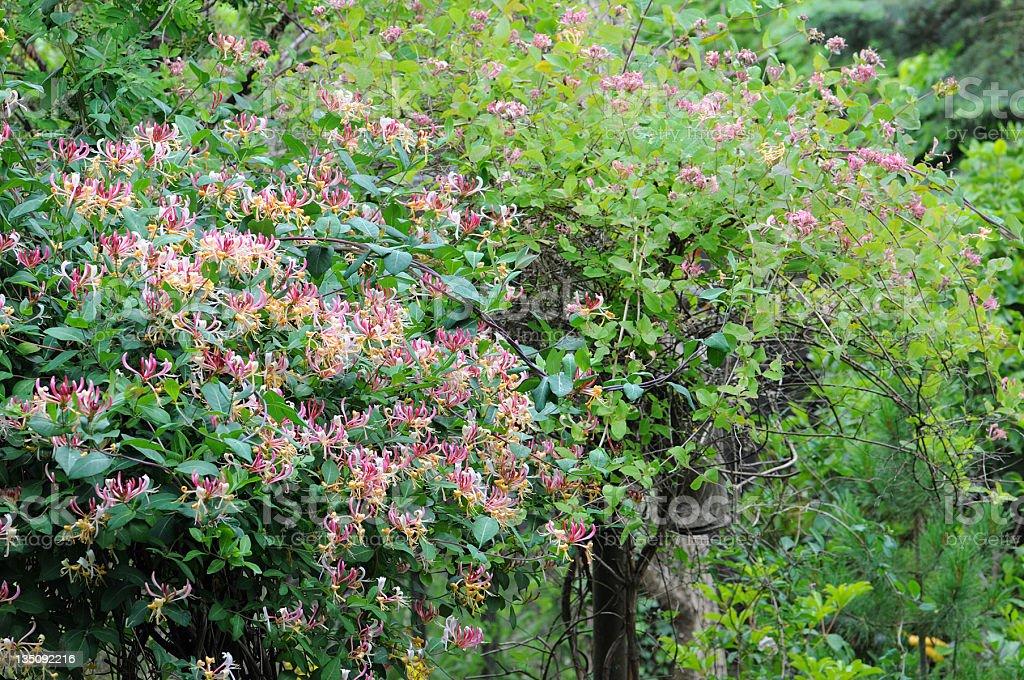 Honeysuckle (Temperate Flower) stock photo