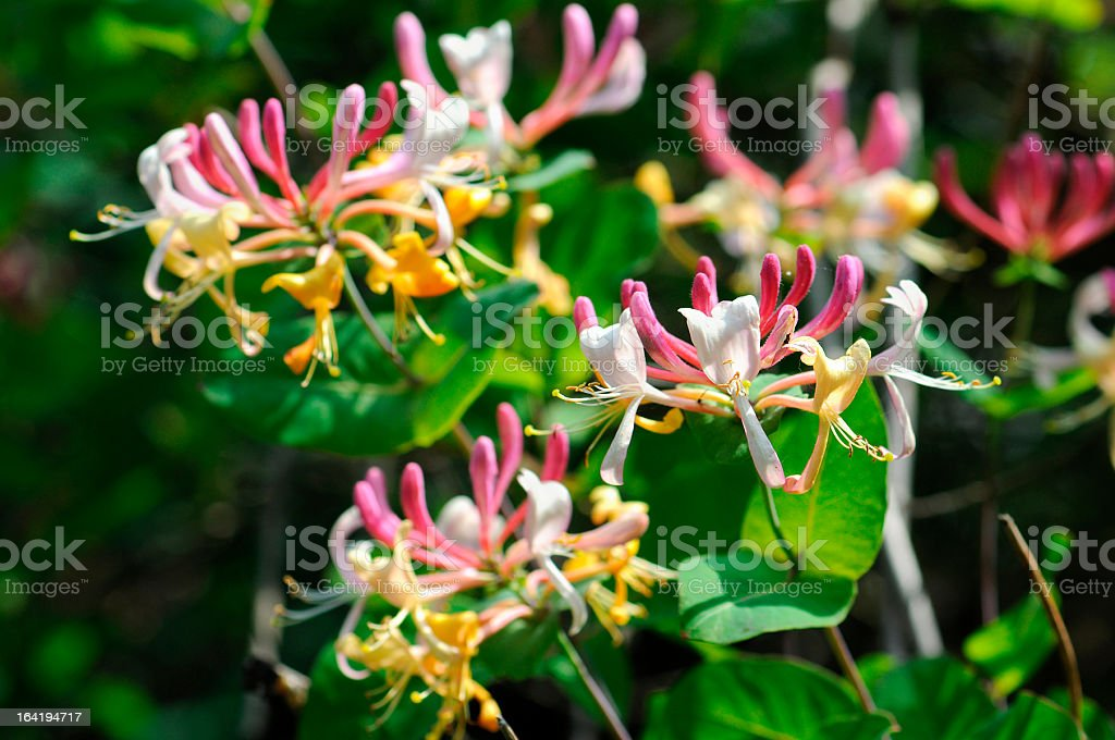 Honeysuckle (Temperate Flower) stock photo
