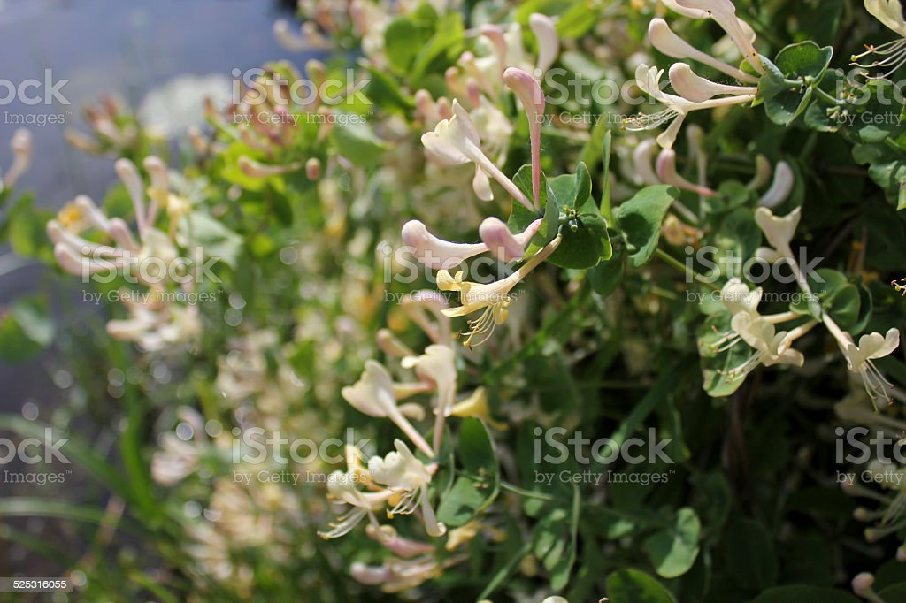 Honeysuckle (Lonicera japonica) stock photo