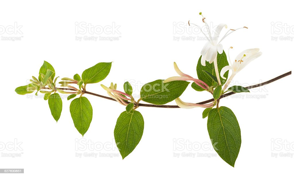 honeysuckle stock photo