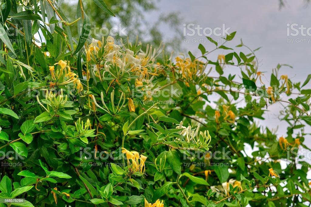 Honeysuckle (Lonicera Japonica) stock photo