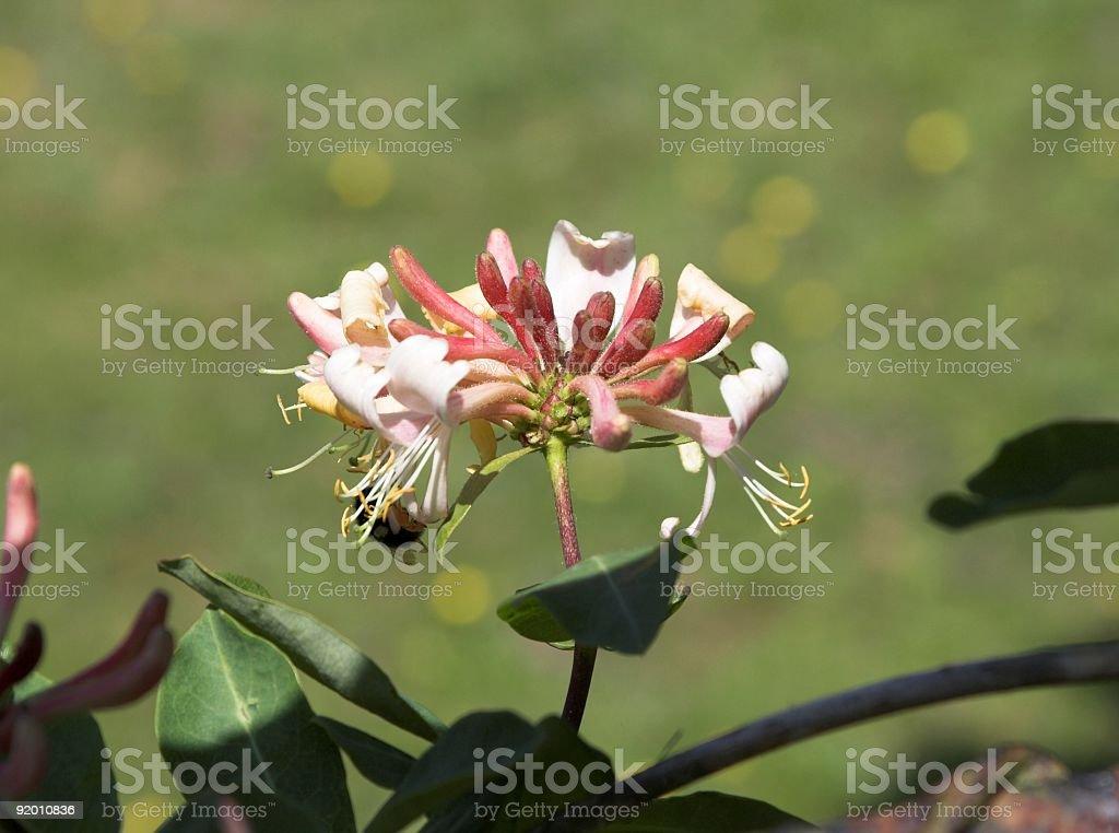 Honeysuckle royalty-free stock photo