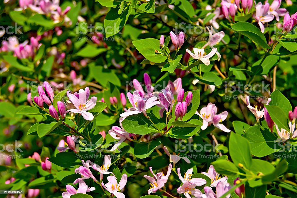 Honeysuckle pink blossoms stock photo