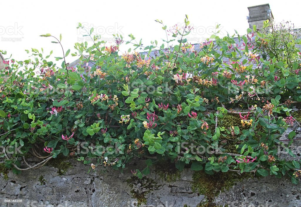 Honeysuckle plant growing on wall stock photo