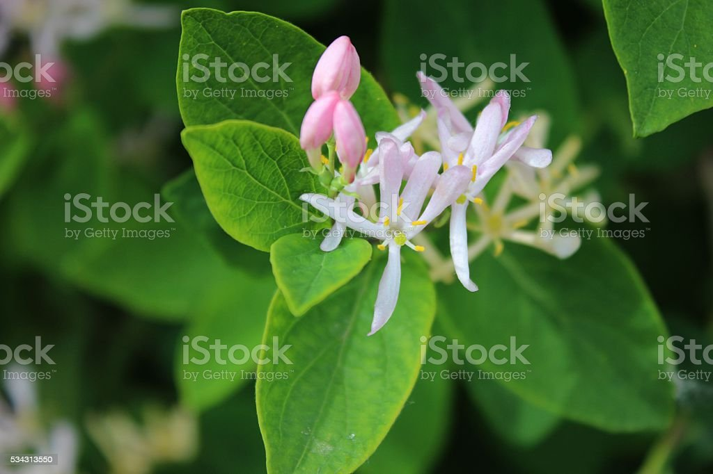 Honeysuckle tender flowers on shrub stock photo