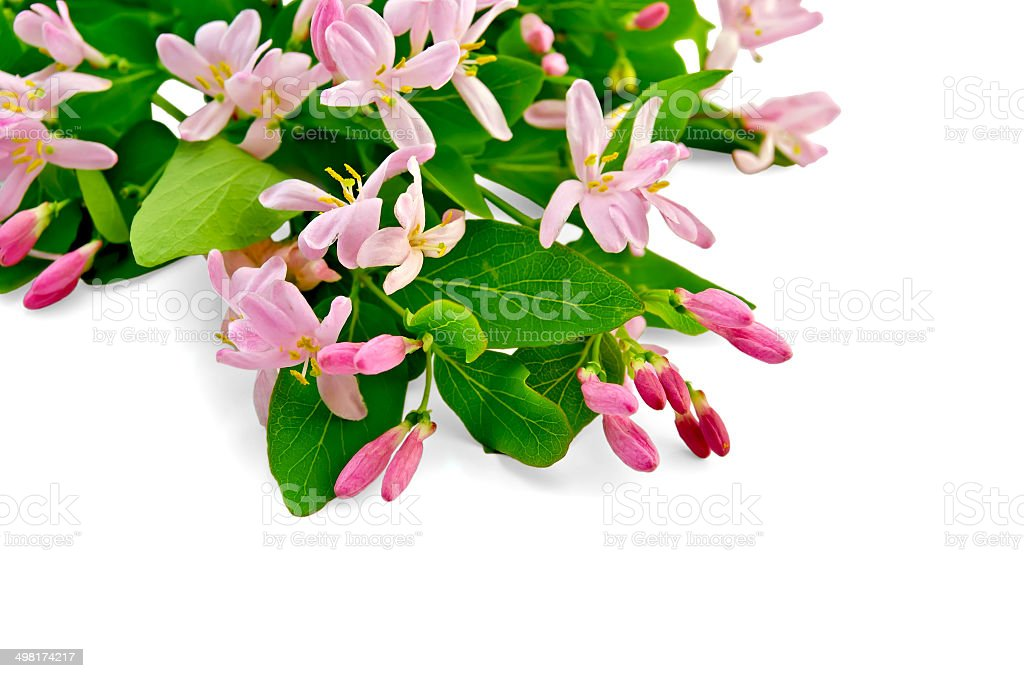 Honeysuckle with pink flowers stock photo