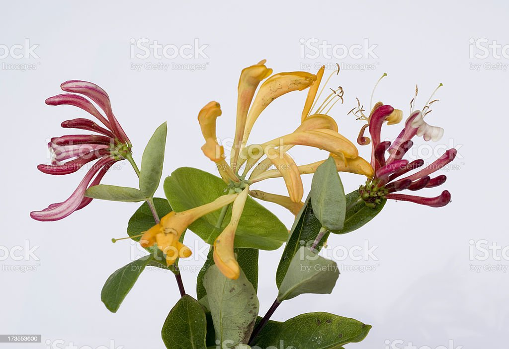 Honeysuckles stock photo