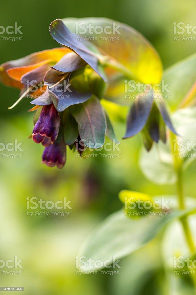 Honeywarts stock photo