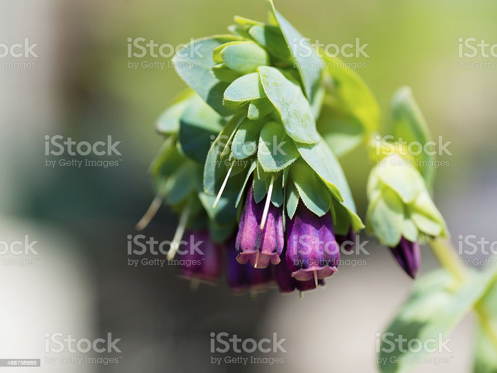 Honeywort (Cerinthe major) (XXXLarge) stock photo