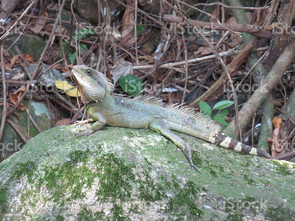 Iguana de Hong Kong foto de stock libre de derechos