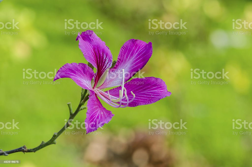 Hong Kong purple orchid flower royalty-free stock photo