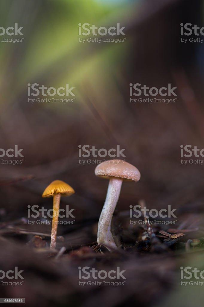 Hongos del pinar stock photo