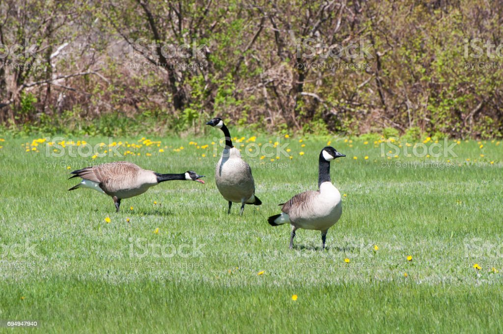 Honking Canada Goose stock photo
