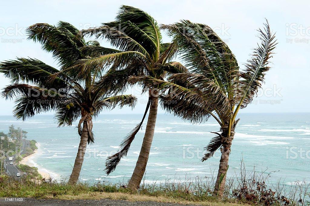 Honolulu Palm Trees royalty-free stock photo