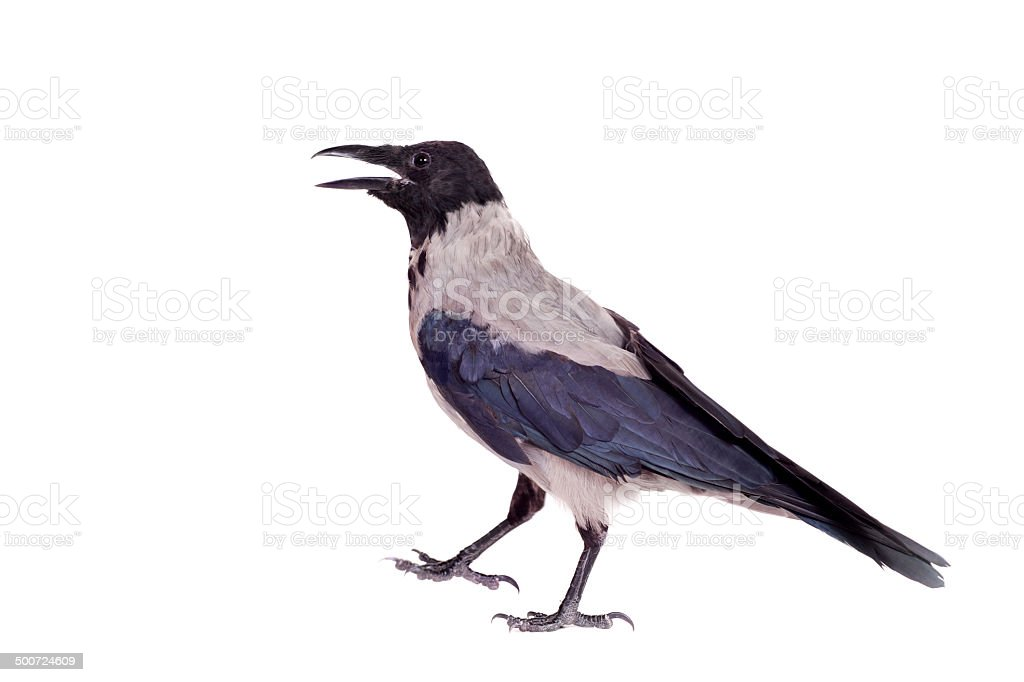 Hooded crow on white background stock photo