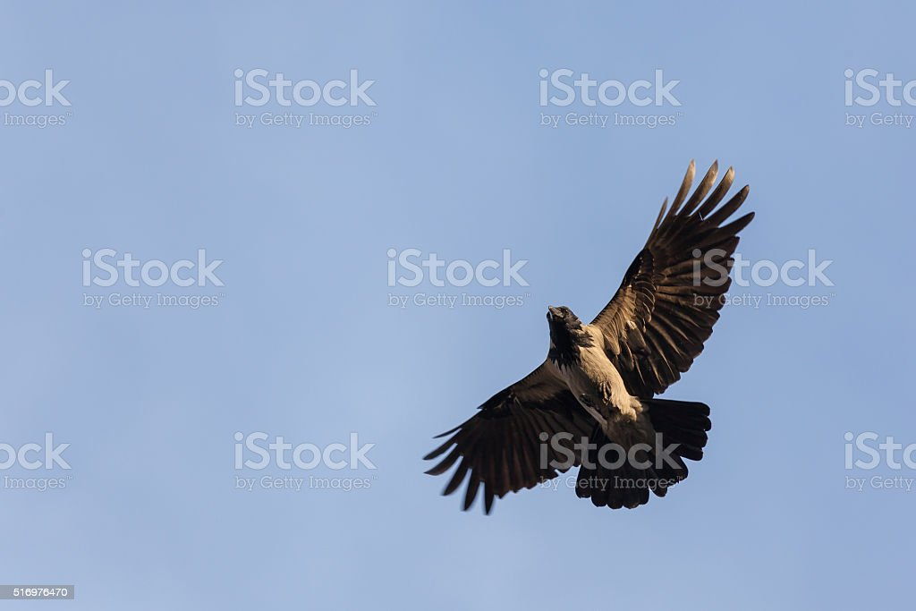 Hooded Crow stock photo