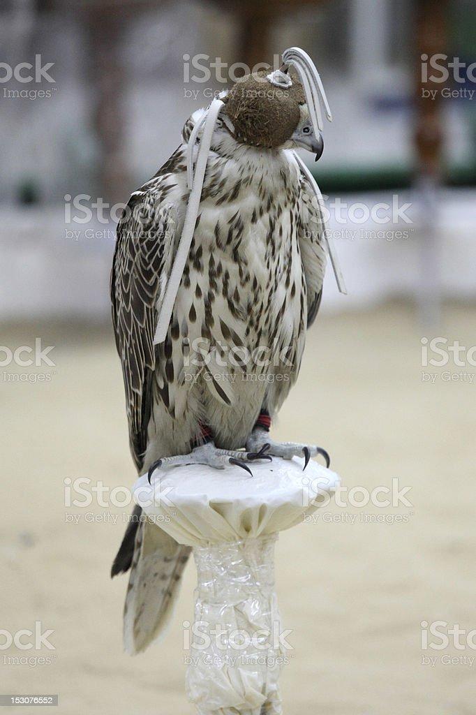Hooded falcon stock photo