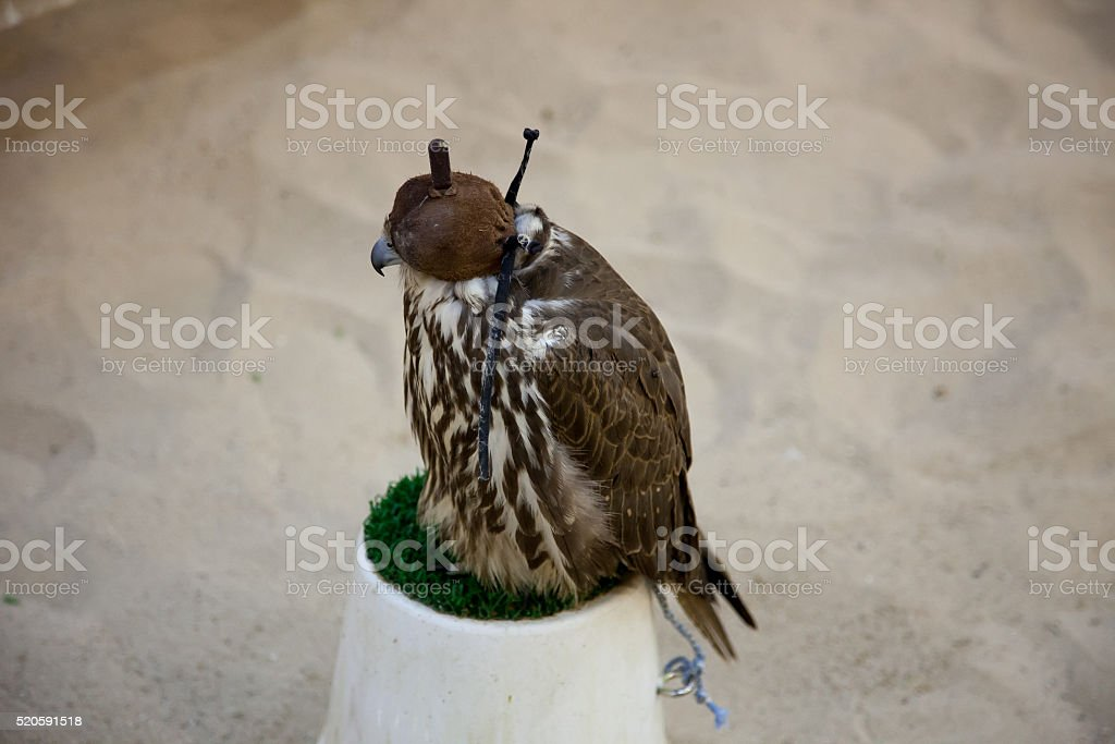 Hooded falcon resting on green plastic grass stock photo