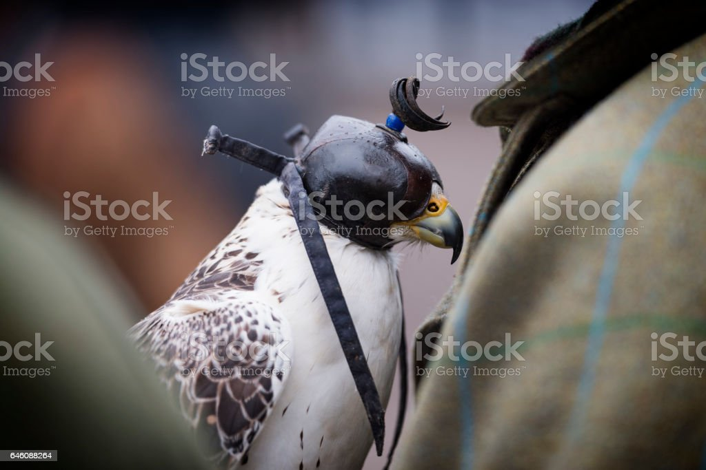 Hooded Lanner Falcon. stock photo