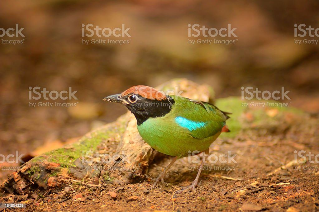Hooded Pitta sordida In Singapore Botanical Garden stock photo